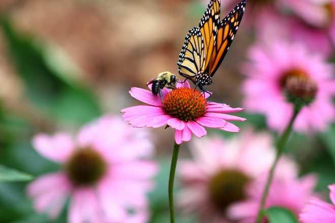 attirer les papillons au jardin