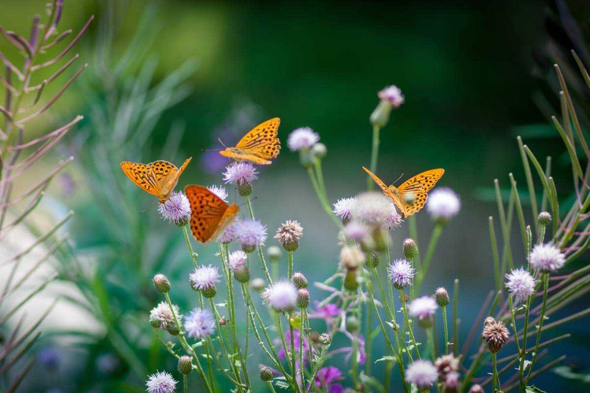 comment attirer les papillons au jardin