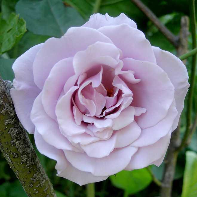 rose couleur mauve