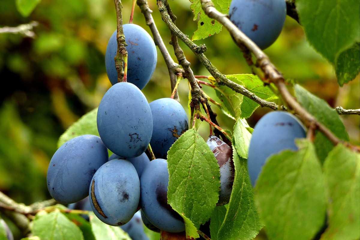 variété de prune