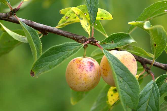 variété de prunes anciennes