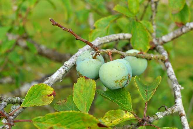 variétés de prunes anciennes