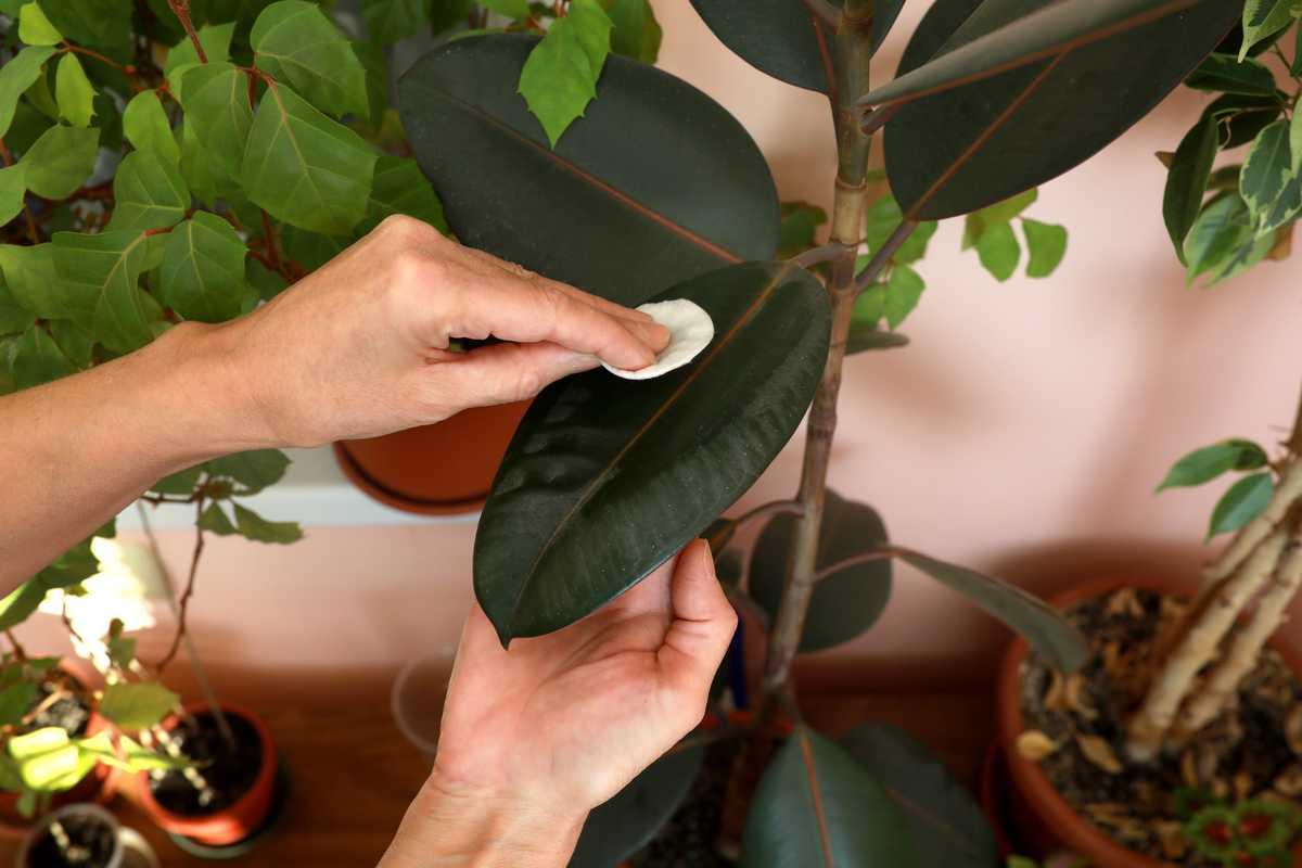 comment enlever la poussière sur les feuilles des plantes