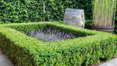 planter une bordure de buis