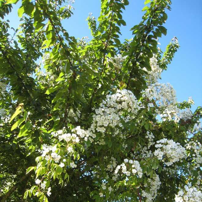 rosiers sous les arbres