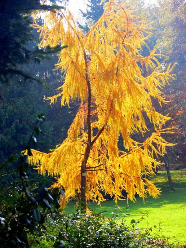 5 coniferes caducs
