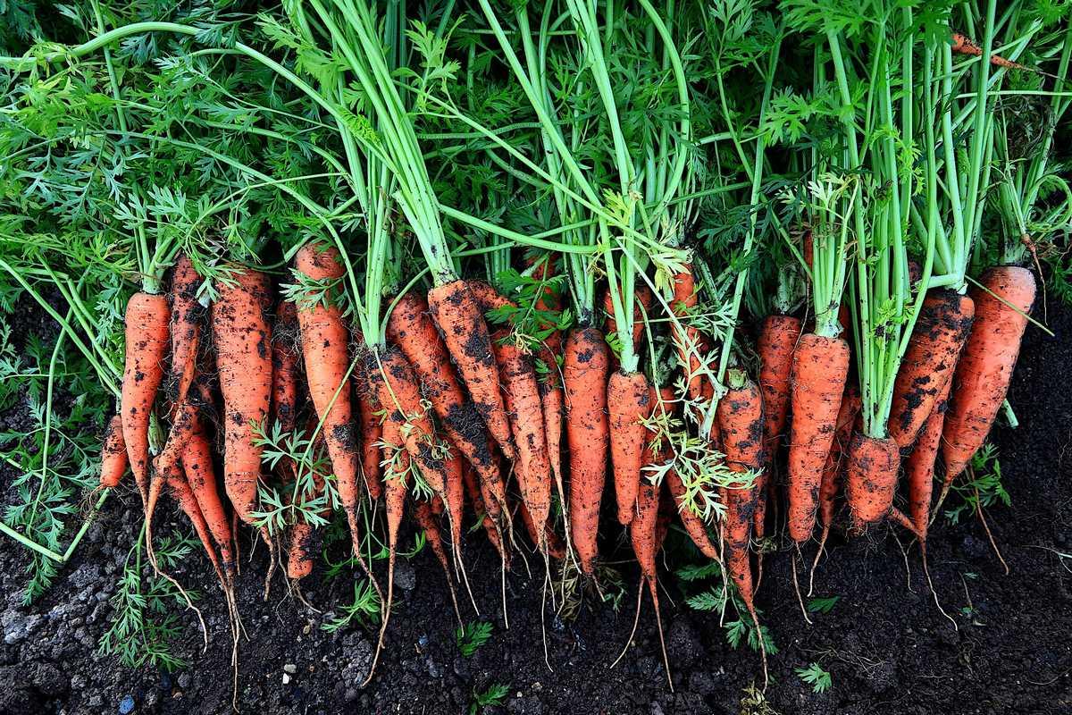 Comment conserver les carottes apres arrachage