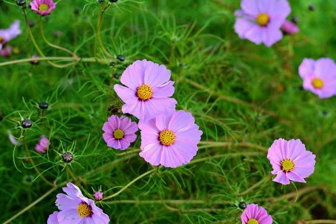 cosmos fleur annuelle