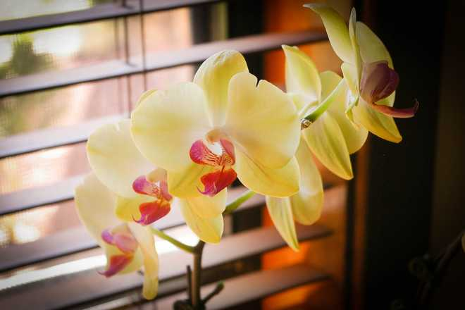 entretien orchidée phalaenopsis
