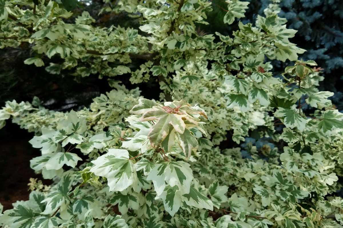 érable champêtre panaché