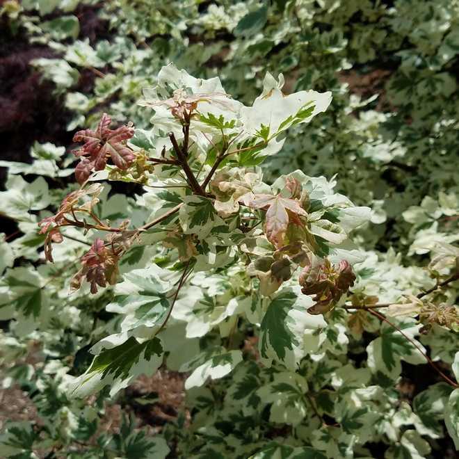 érable champêtre feuille