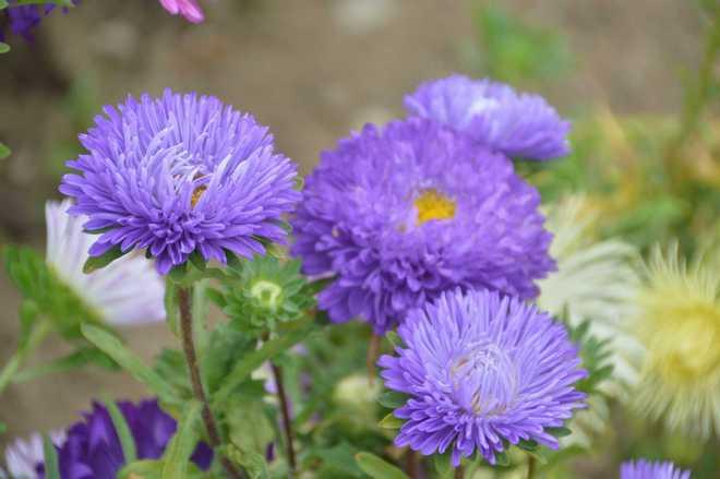 fleur violette annuelle