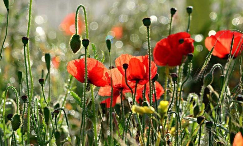 fleurs annuelles plein soleil