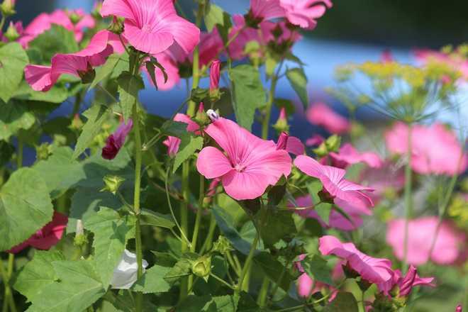 fleurs annuelles roses