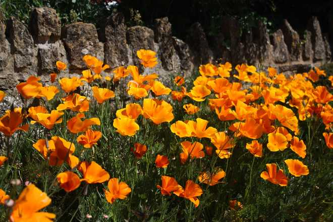 fleurs annuelles supportant la secheresse