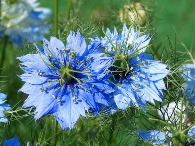 fleurs bleues annuelles