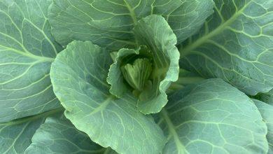 légumes vivaces