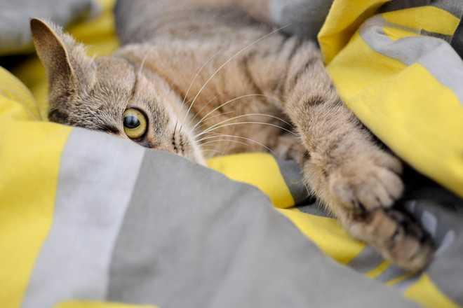 maladie transmise par le chat