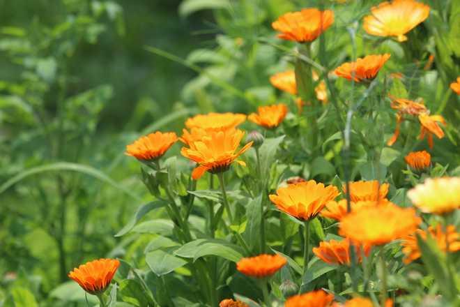 parterre de fleurs annuelles