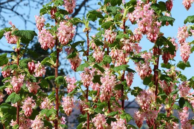 groseillier a fleur