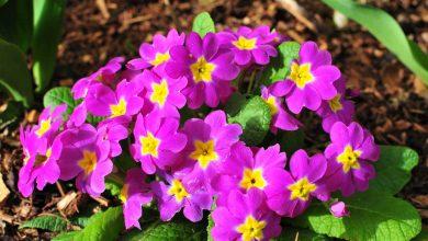 primevere fleur