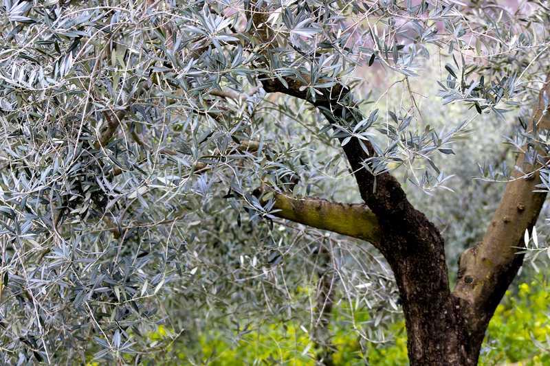 a quel âge un olivier donne des olives