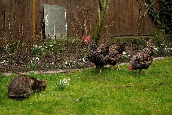 combien de poules pour un coq