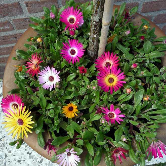 ficoide en jardiniere