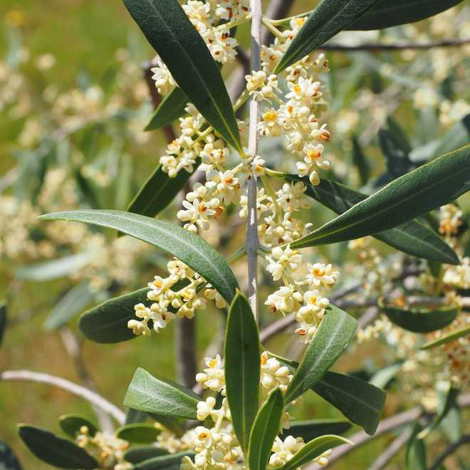fleur d olivier