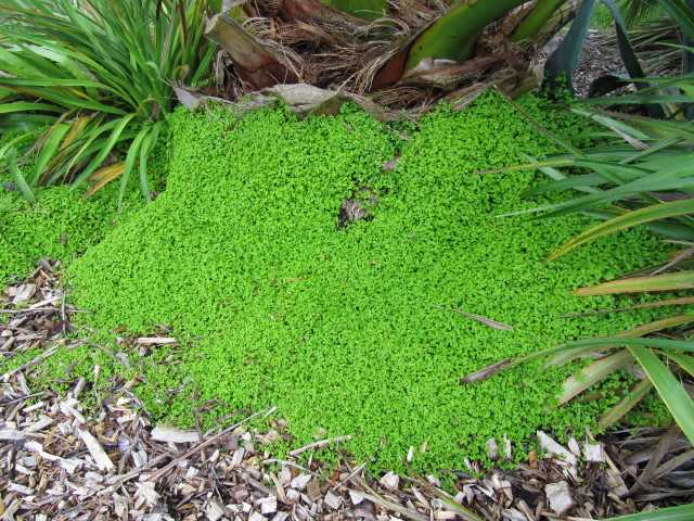 plante couvre sol ombre remplace le gazon