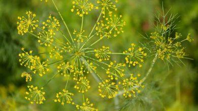 plante qui sent l anis