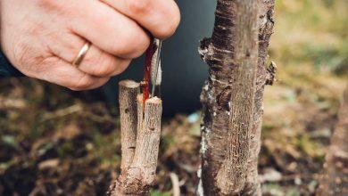 pourquoi greffer un arbre fruitier