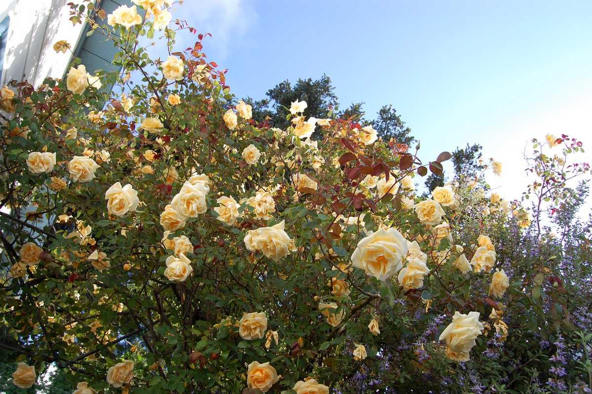 rosier plein soleil