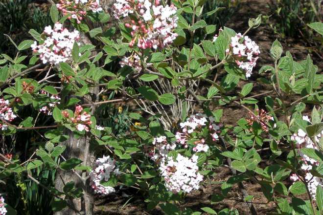 arbuste viorne