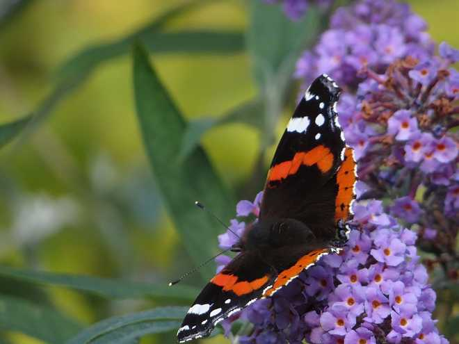 arbustes pour attirer les papillons