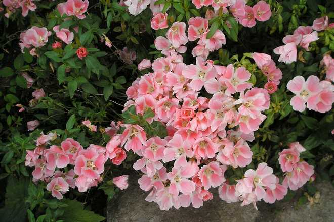 clarkias fleurs