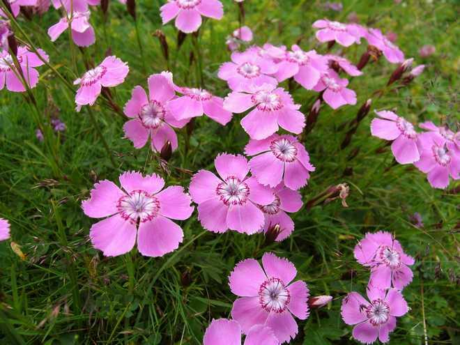 fleur oeillet