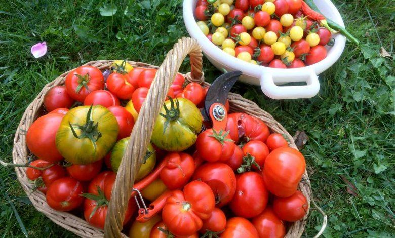 meilleures variétés de tomates