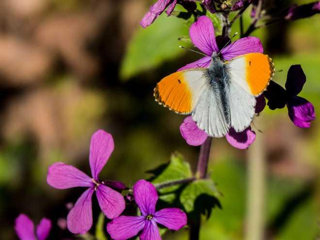 plante a papillon