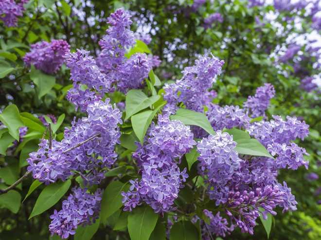 plante mellifère violette