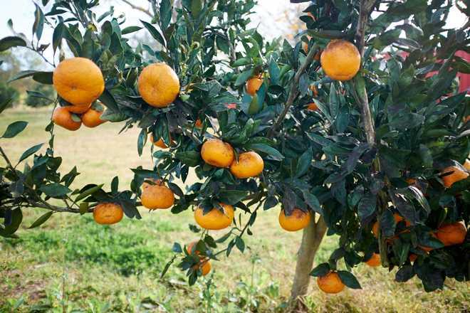 arbre clémentine