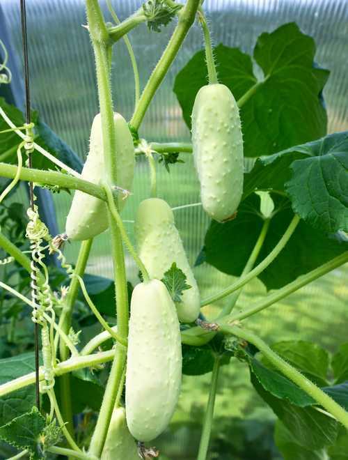petit concombre blanc