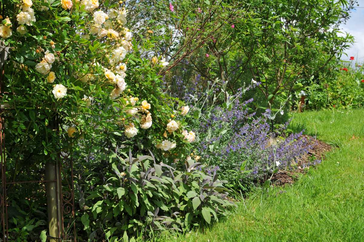 quelles plantes associer avec les rosiers