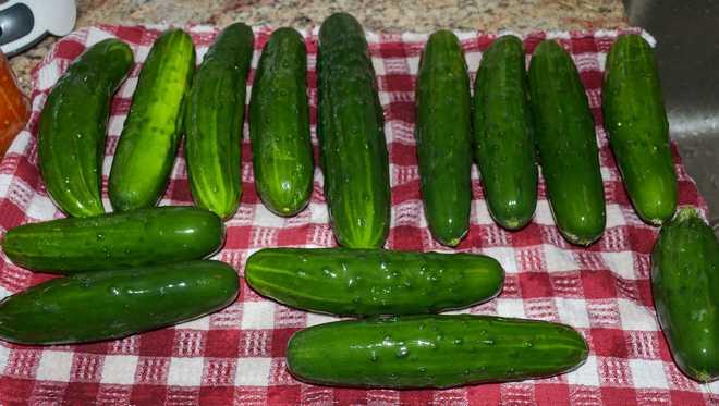 types de concombre