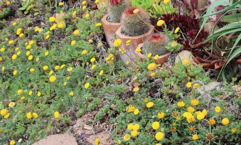12 plantes mousse en couvre sol