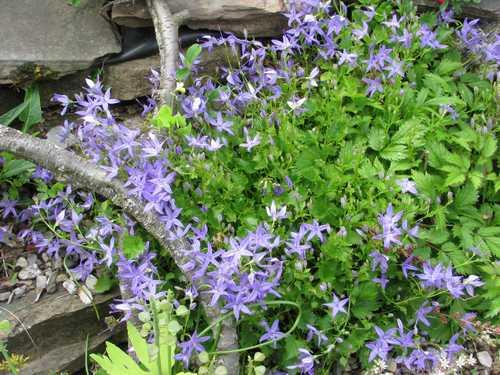 Campanula fenestrellata plante couvre sol violet