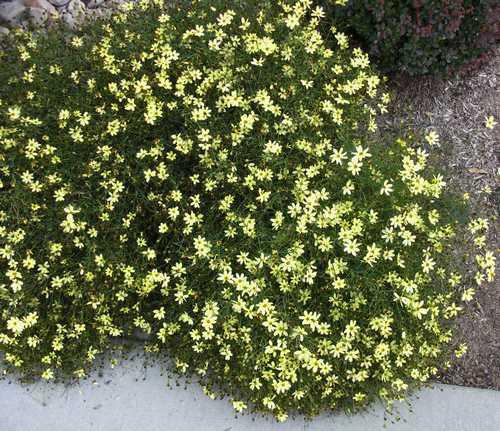 Coreopsis verticillata Moonbeam mousse couvre sol