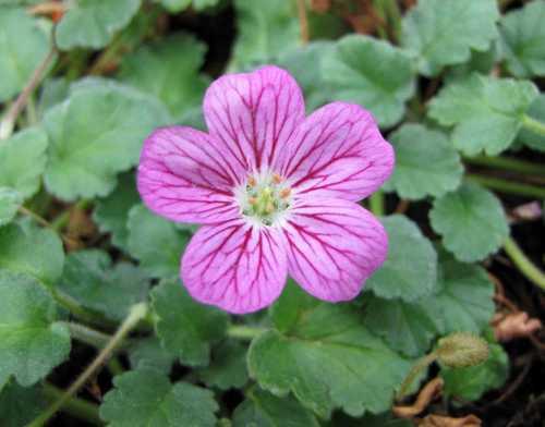 Erodium variabile plante de muret
