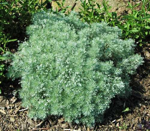 artemisia schmidtiana couvre sol