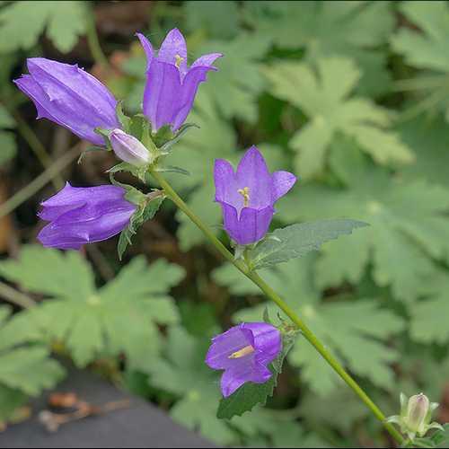 campanula urticifolia